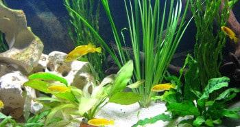 Malawi Aquarium Pflanzen