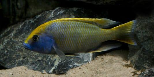 Malawi Barsch Nimbochromis Venustus